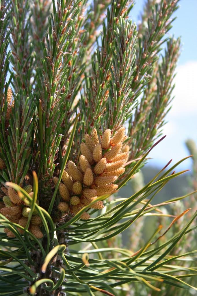 Pinus contorta male strobili/pollen cones. Photo by Sally Aitken